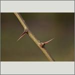 Bild 9 zum Bildarchiv Sonstige Pflanzen