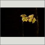 Bild 31 zum Bildarchiv Sonstige Pflanzen