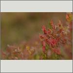 Bild 35 zum Bildarchiv Sonstige Pflanzen