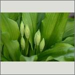 Bild 40 zum Bildarchiv Sonstige Pflanzen