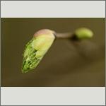 Bild 39 zum Bildarchiv Sonstige Pflanzen