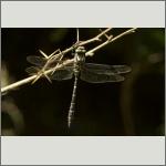 Bild 41 zum Bildarchiv Libellen
