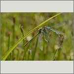 Bild 47 zum Bildarchiv Libellen