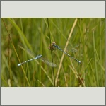 Bild 44 zum Bildarchiv Libellen