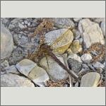 Bild 46 zum Bildarchiv Libellen