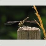 Bild 52 zum Bildarchiv Libellen