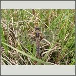 Bild 48 zum Bildarchiv Libellen