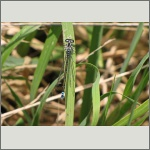 Bild 14 zum Bildarchiv Libellen