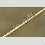 Bild 50 zum Bildarchiv Libellen