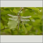 Bild 56 zum Bildarchiv Libellen