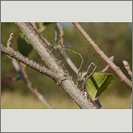 Bild 57 zum Bildarchiv Libellen