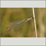 Bild 53 zum Bildarchiv Libellen
