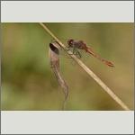 Bild 54 zum Bildarchiv Libellen