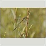 Bild 60 zum Bildarchiv Libellen