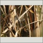 Bild 61 zum Bildarchiv Libellen