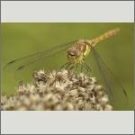 Bild 62 zum Bildarchiv Libellen
