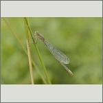 Bild 59 zum Bildarchiv Libellen