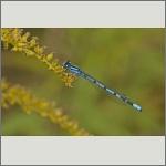 Bild 66 zum Bildarchiv Libellen
