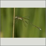 Bild 68 zum Bildarchiv Libellen