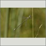 Bild 64 zum Bildarchiv Libellen