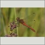 Bild 70 zum Bildarchiv Libellen