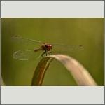 Bild 72 zum Bildarchiv Libellen