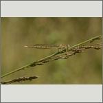 Bild 75 zum Bildarchiv Libellen