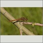 Bild 76 zum Bildarchiv Libellen