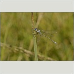 Bild 77 zum Bildarchiv Libellen