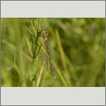 Bild 73 zum Bildarchiv Libellen