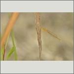 Bild 74 zum Bildarchiv Libellen
