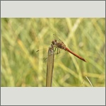 Bild 84 zum Bildarchiv Libellen