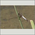 Bild 80 zum Bildarchiv Libellen