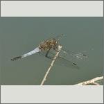 Bild 81 zum Bildarchiv Libellen