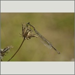 Bild 82 zum Bildarchiv Libellen