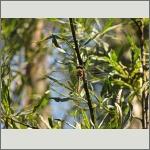 Bild 83 zum Bildarchiv Libellen