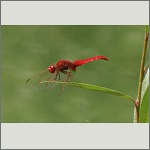 Bild 89 zum Bildarchiv Libellen