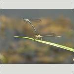 Bild 90 zum Bildarchiv Libellen