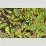Bild 91 zum Bildarchiv Libellen