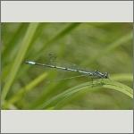 Bild 26 zum Bildarchiv Libellen
