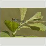 Bild 49 zum Bildarchiv Libellen