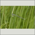 Bild 8 zum Bildarchiv Libellen