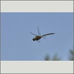 Bild 120 zum Bildarchiv Libellen