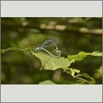Bild 127 zum Bildarchiv Libellen