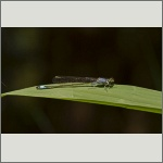 Bild 128 zum Bildarchiv Libellen