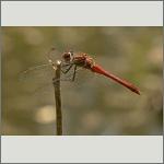 Bild 129 zum Bildarchiv Libellen