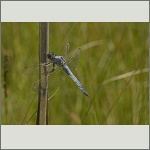 Bild 125 zum Bildarchiv Libellen