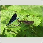 Bild 131 zum Bildarchiv Libellen