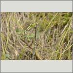 Bild 132 zum Bildarchiv Libellen