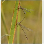 Bild 133 zum Bildarchiv Libellen